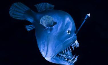 Deep-sea thriller: The gothic romance of anglerfish