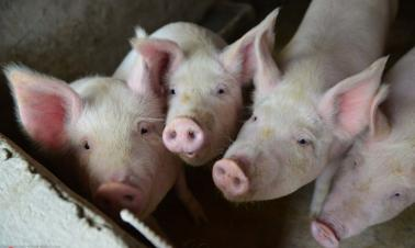 China reports 3 new African swine fever cases