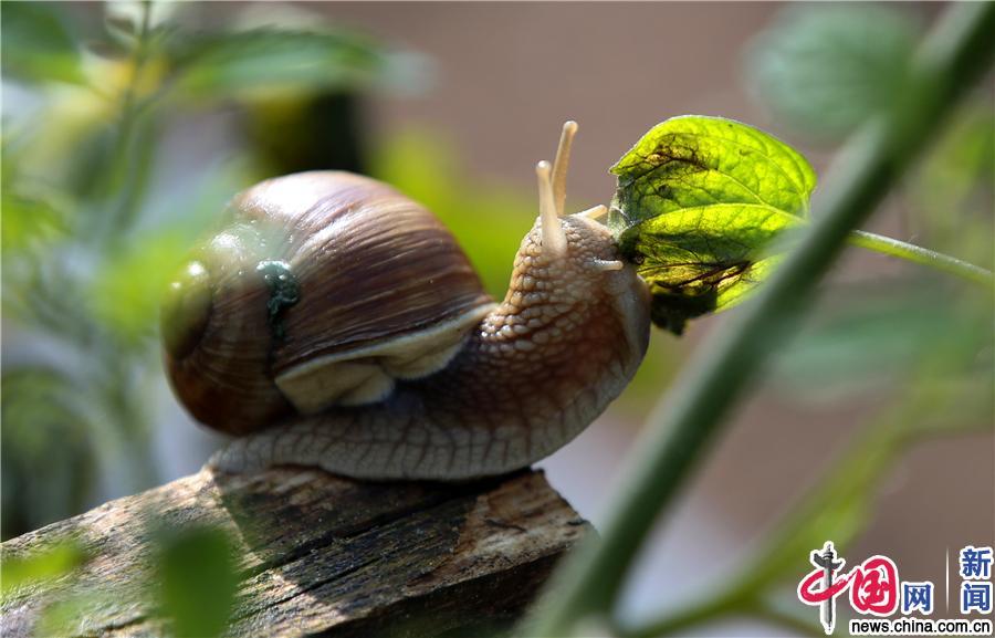 """在白俄罗斯蜗牛""""农场""""与蜗牛亲密互动"""