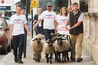 无协议脱欧或使英国一半农场倒闭 反脱欧人士在白厅前放羊示威