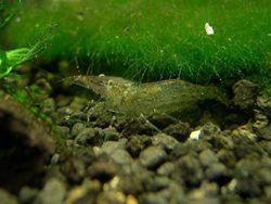 蹄肢新米虾