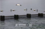 杭州西湖的鱼,飞起来了!