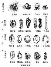 生殖与生活史有孔虫的生殖方式