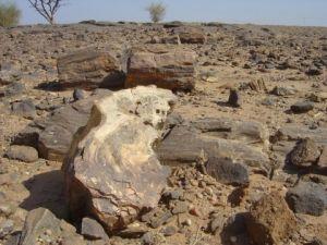 """""""化石沟""""出露的硅化木"""