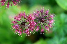 九顶山的百合科葱属野花