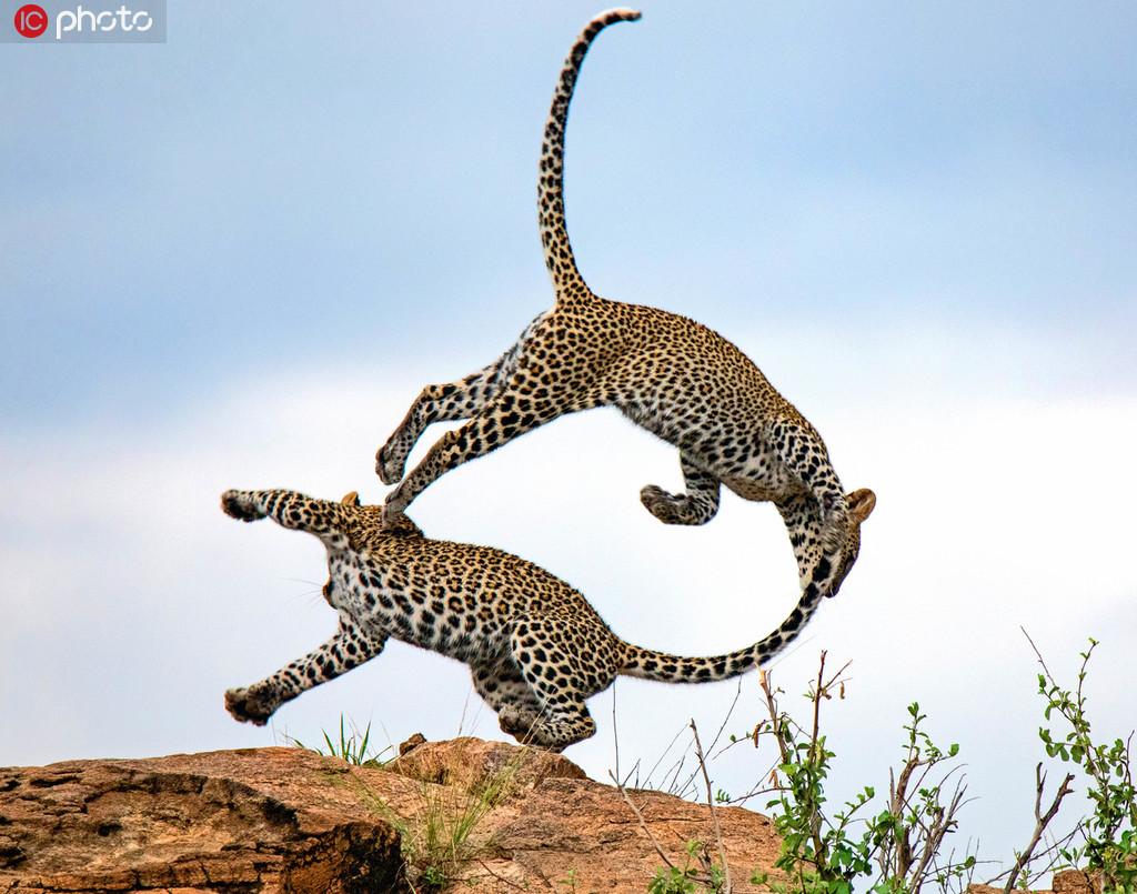 """肯尼亚自然保护区美洲豹兄弟打架玩闹 高高跃起上演""""杂技""""秀"""