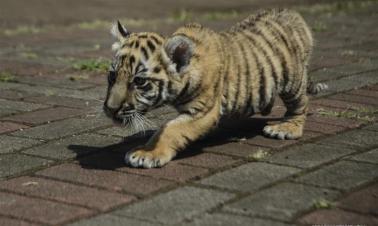 Bengal tiger cub in Bandung zoo, Indonesia
