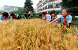 校园里开辟土地 金华站前小学的麦子熟了