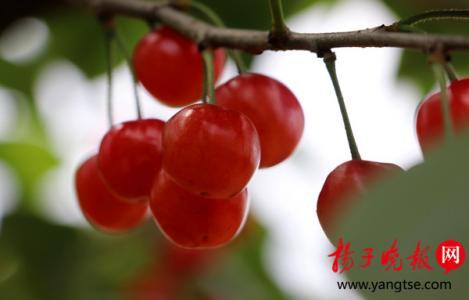 10年前种下了几十亩樱桃,如今句容的樱桃又熟了