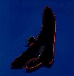 红边蝙蝠鱼