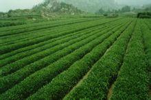 崂山绿茶茶园图