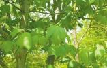 这种树竟可以在4种性别间来回切换