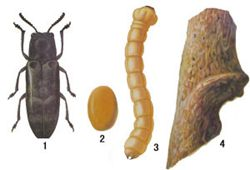 柑桔旋皮虫