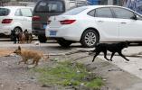 无人机搜寻、执法人员跟踪、专业人员收容!鹿城滨江开展流浪犬整治