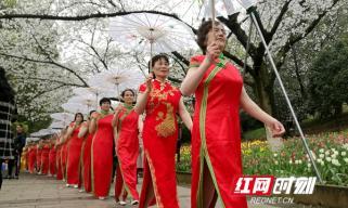 樱花树下秀旗袍 老年模特队在省植物园上演快闪秀