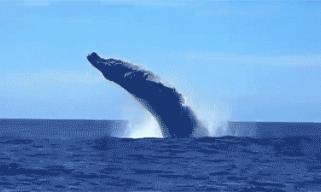 看鲸鱼跃出海面 去十大赏鲸胜地邂逅自由生灵