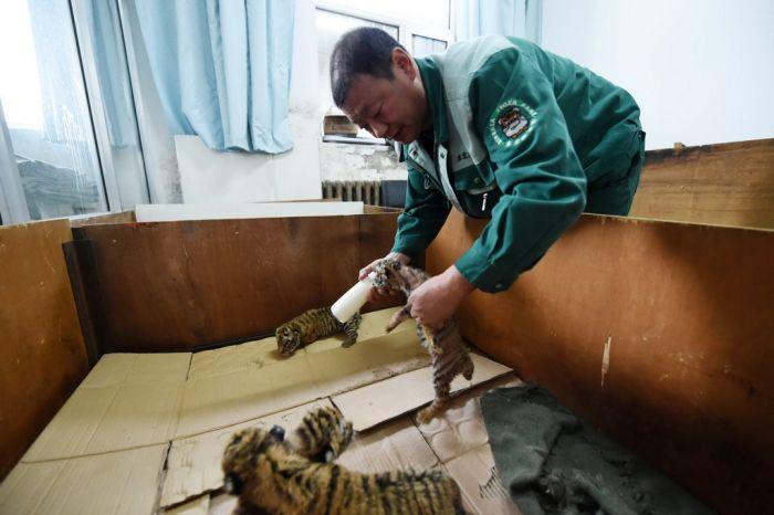 中国横道河子猫科动物饲养繁育中心