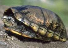 亚马逊泥龟